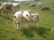 Some of the herd enjoying the summer sunshine in the Lincolnshire Wolds.